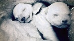 BBC Frozen Planet - Newborn polar bears