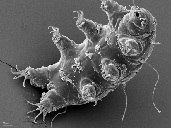 Tardigrade water bear esa schill