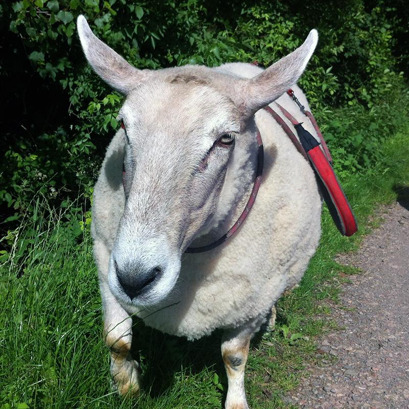 Nick Boing Boing, pet sheep